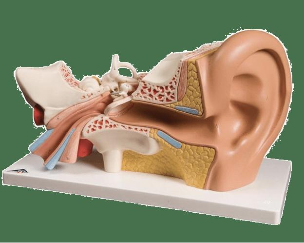 orecchio apparato