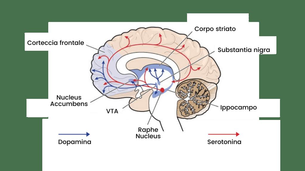 percorso dopamina serotonina